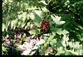 Actaea rubra 5-eheep (5097217959).jpg