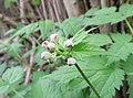 Actaea spicata flower (05).jpg