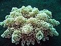 Actinodendron arboreum2.jpg
