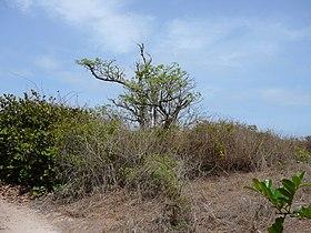 Adansonia digitata 0018.jpg