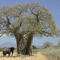 Adansonia digitata Square Crop.png