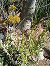 Adenia glauca KirstenboshBotGard09292010C