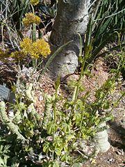 Adenia glauca KirstenboshBotGard09292010C.JPG