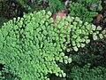 Adiantum aethiopicum 1.jpg
