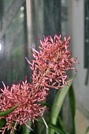 Aechmea purpureorosea Flowers.jpg