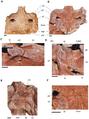 Aegisuchus and Aegyptosuchus.png