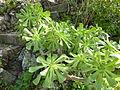 Aeonium manriqueorum (3).jpg