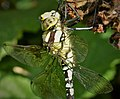 Aeshna cyanea Immature male. Blue Hawker (24925059547).jpg