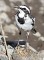 African Pied Wagtail, Motacilla aguimp in Kruger National Park (20326672751).jpg