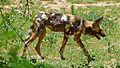 African Wild Dog (Lycaon pictus) (6017662037).jpg