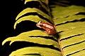 Afrixalus dorsalis on leaf.jpg