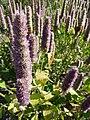 Agastache foeniculum 'Anise Hyssop' (Labatae) flower.JPG
