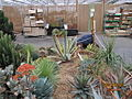 Agaves and Aloes (4551794211).jpg
