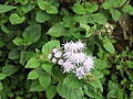 Ageratum houstonianum-yercaud-salem-India.JPG