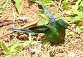 Aglaiocercus kingi (Silfo coliverde) - Macho - Flickr - Alejandro Bayer (2).jpg