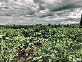 Agricultura na caatinga.jpg