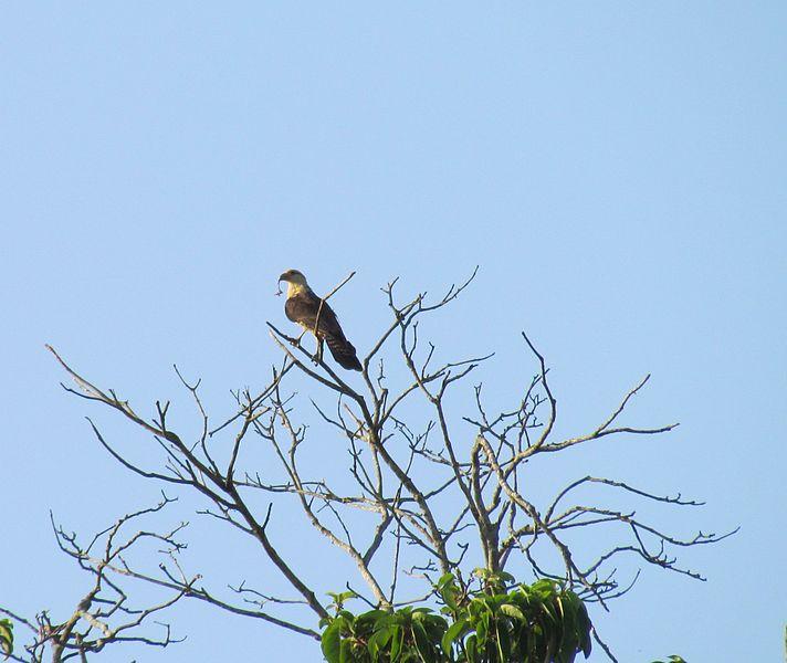 File:Aguila con presa.jpg