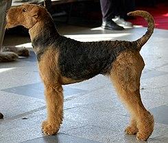 Airedale terrier 744.jpg