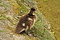 Aix galericulata (Küken) - Nymphenteich Zürichhorn 2011-06-07 14-36-54.JPG