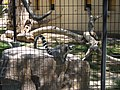 Alameda Park Zoo RIng-tailed lemur.jpg