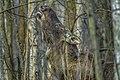 Alces alces 10(js), Biebrza National Park (Poland).jpg