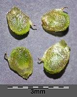 Alisma lanceolatum sl14.jpg