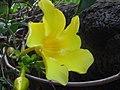 Allamanda cathartica (4211653510).jpg