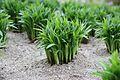 Allium hookeri.jpg