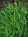 Allium moly 001.JPG