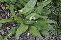 Allium ursinum, Scey - img 33260.jpg