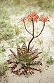Aloe arborescens. Tarifa beach. Dos Mares. Andalusia (37708318956).jpg