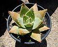 Aloe brevifolia var depressa - Western Cape.jpg