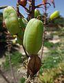 Aloe fosteri fruits.jpg