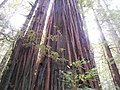 Along Avenue of the Giants (21940122711).jpg