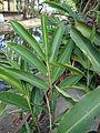 Alpinia purpurata (5).JPG