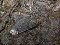 Alsophila aescularia ♂ - March moth (male) - Пяденица пушистая (самец) (40865411862).jpg