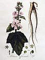 Althaea officinalis — Flora Batava — Volume v4.jpg