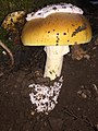 Amanita calyptroderma G.F. Atk. & V.G. Ballen 728029.jpg