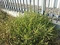 Amaranthus albus sl31.jpg