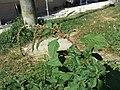 Amaranthus viridis sl23.jpg