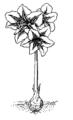 Amaryllis 1 (PSF).png