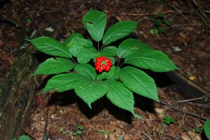 American ginseng - Image: American ginseng with fruit