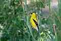American Goldfinch (male) Eagle Rock Lake Red River Canyon NM 2019-07-09 08-56-45 (48248649971).jpg
