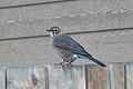 American Robin (Turdus migratorius) - Saskatoon, Saskatchewan.jpg