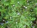 Amethystea caerulea 49118085.jpg