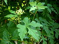 Ampelopsis aconitifolia 3c.JPG