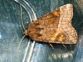 Amphipoea fucosa lucens oculea - Ear moth - Совка яровая (41065489202).jpg