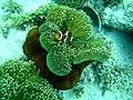 Amphiprion ocellaris (ikan badut), Desa Kadur pulau Laut, Kepulauan Riau, 24082015.jpg