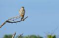 Amur Falcon (Falco amurensis) female (17067373459).jpg