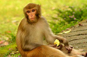 Abubshahar Wildlife Sanctuary - Image: An Indian monkey (bandar) in Malsi Deer Park (photo Jim Ankan Deka)
